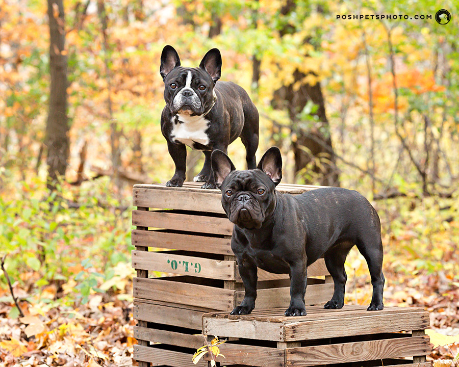 french bull dogs on boxes in autumn