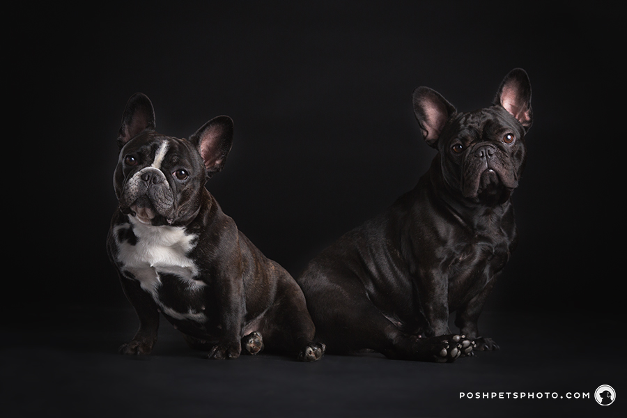 two french bulldogs in studio