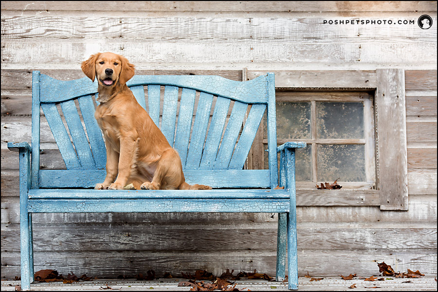 golden retriever puppy on blue bench