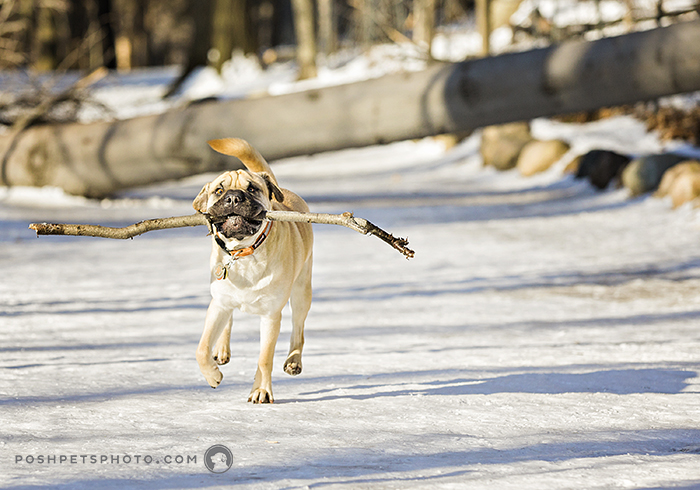 pug running with stick in his mouth