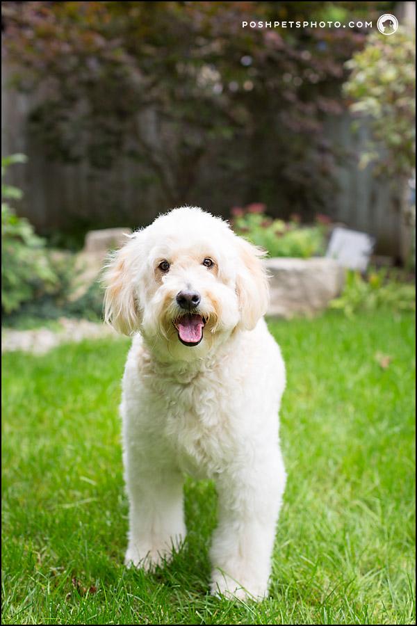 happy golden doodle dog