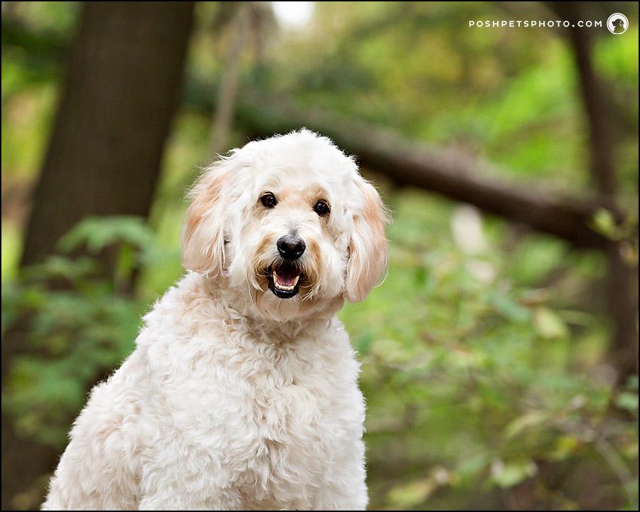 golden doodle dog headshot