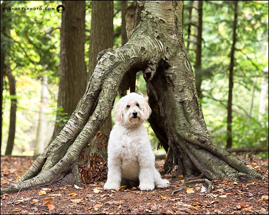 golden doodle dog in tree trunk