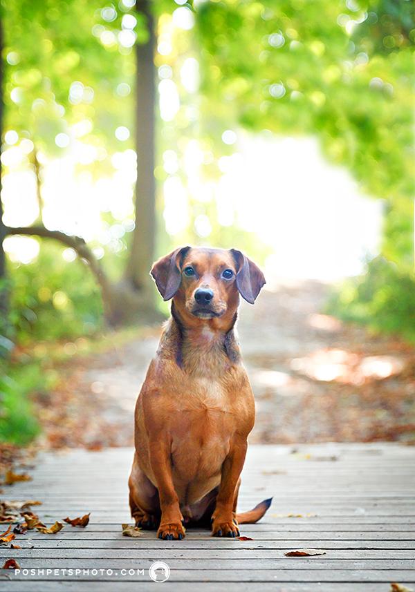 dachshund on the bridge