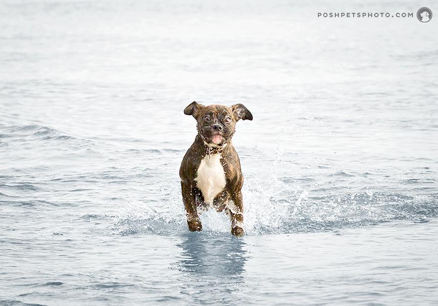 puppy running through the water
