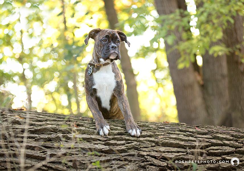 boxer dog posing on a log
