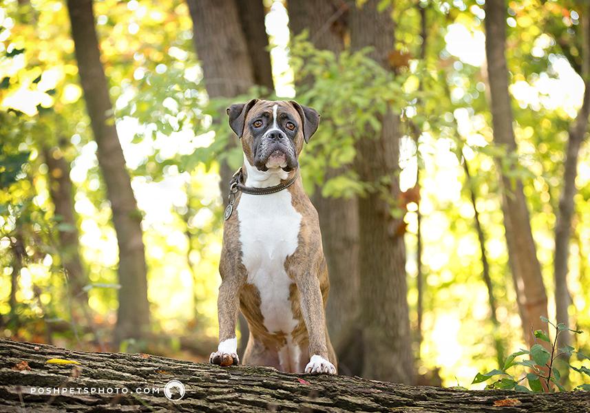 boxer dog standing on a log