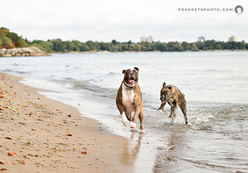 two boxer dogs playing on the shoreline