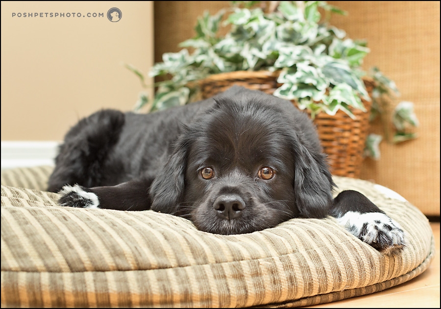 black spaniel lying on his bed