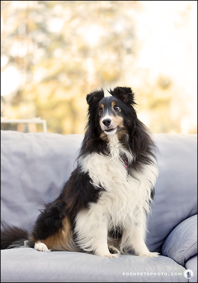 shetland sheepdog sitting on couch