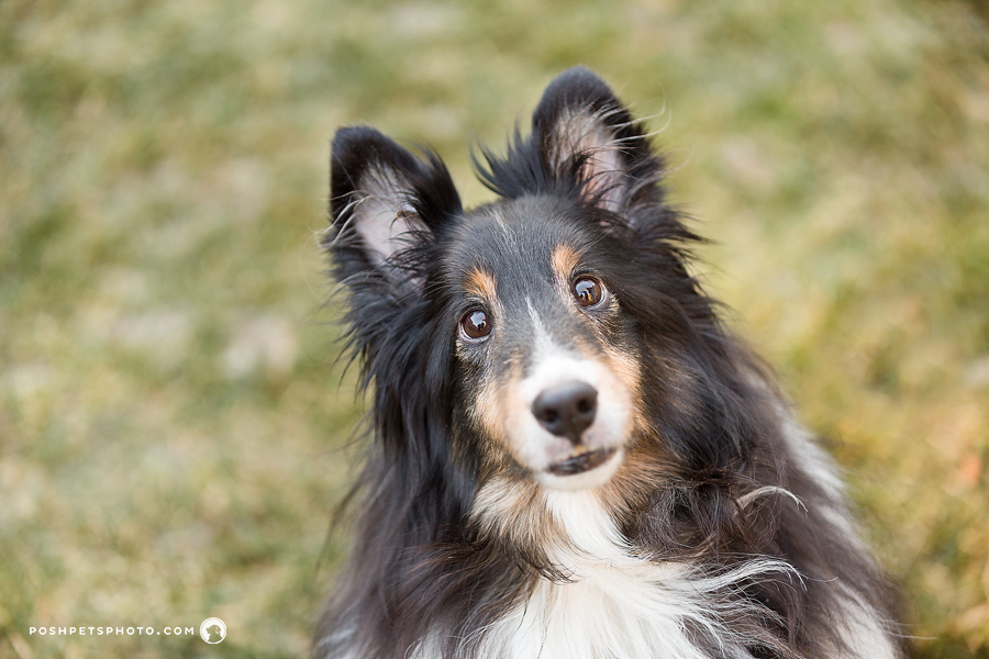 shetland sheepdog head portrait