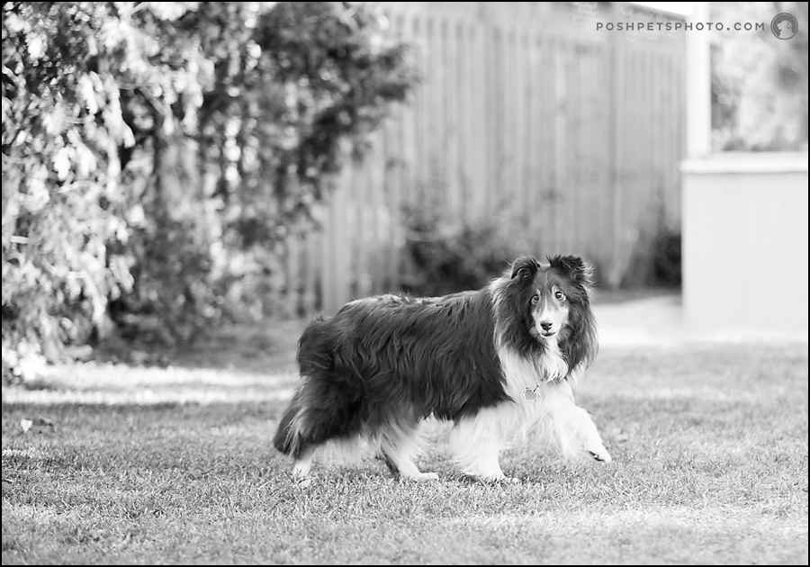 black and white photo of sheltland sheepdog