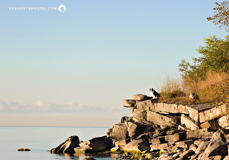 border collie on rocky shoreline