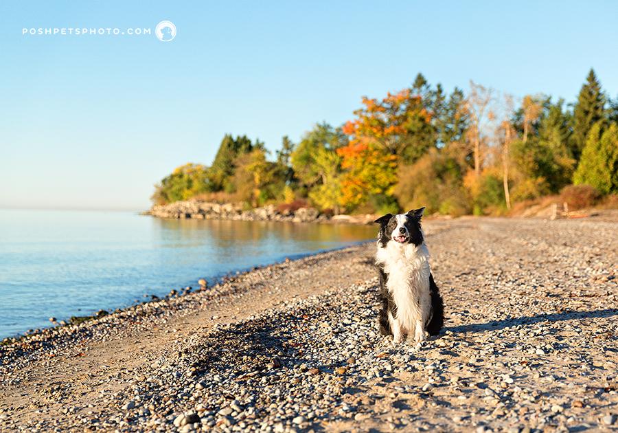 border collie dog on beach