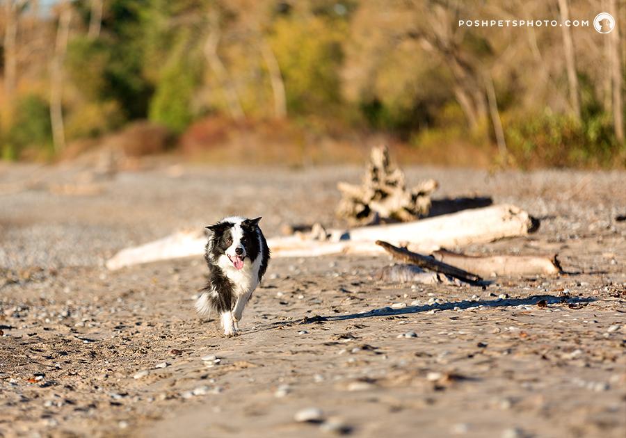 border collie running on beach