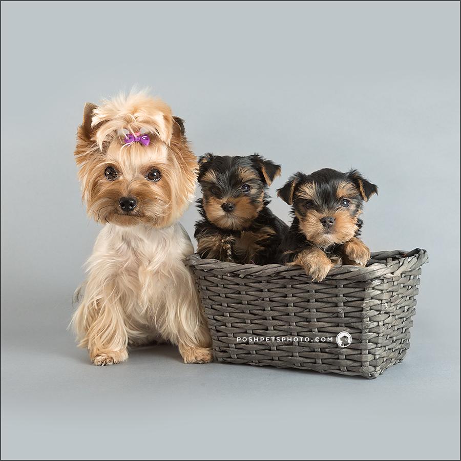 yorkie dog family