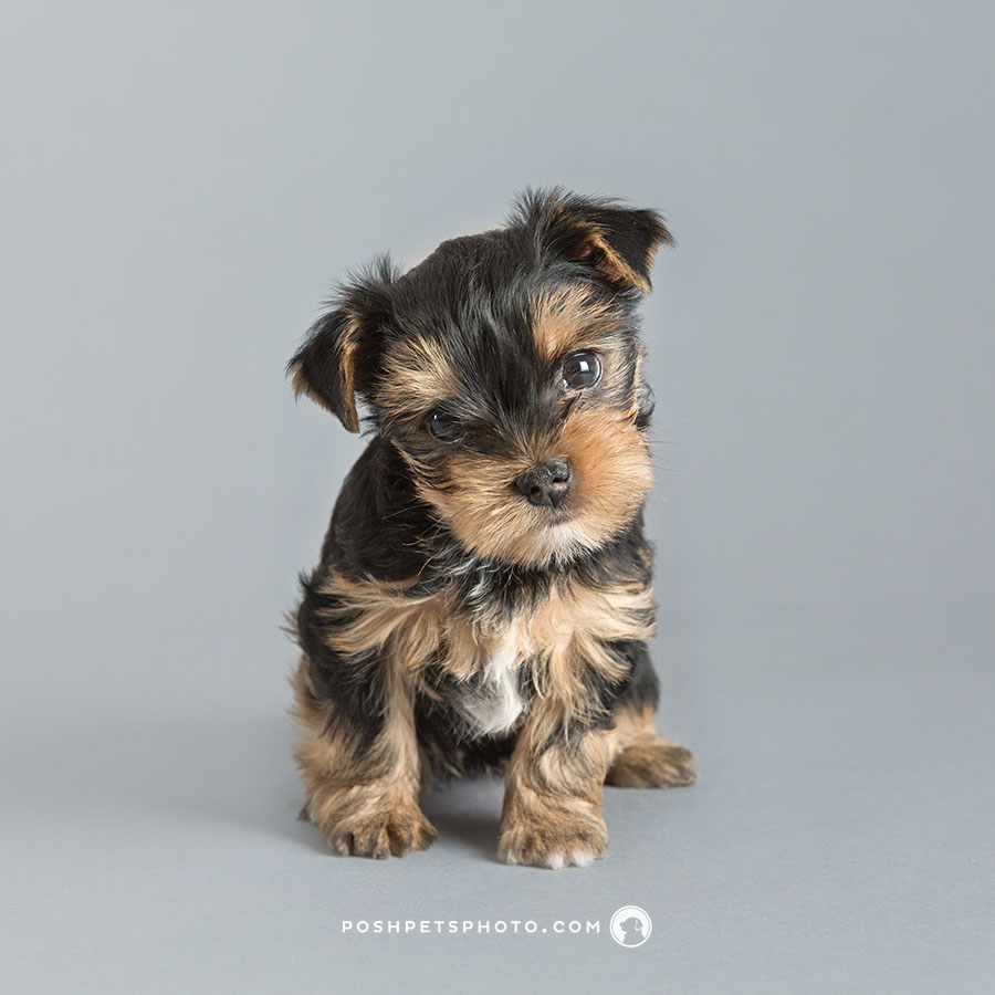 yorkshire terrier puppy with head tilt