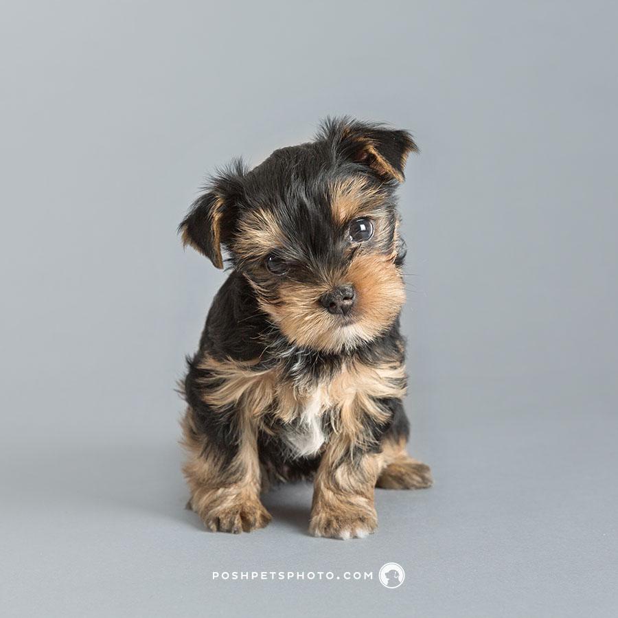 yorkshire terrier puppy with head tilt