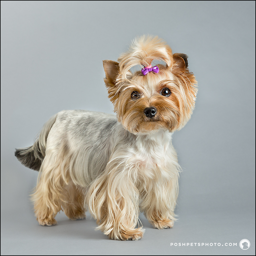 yorkshire terrier portrait in Toronto