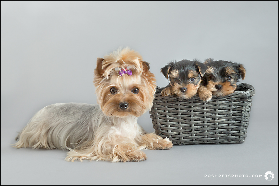 yorkshire terrier mom dog with puppies