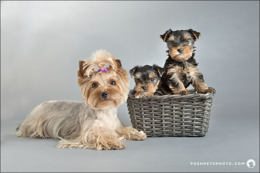 pure bred yorkshire terrier puppies