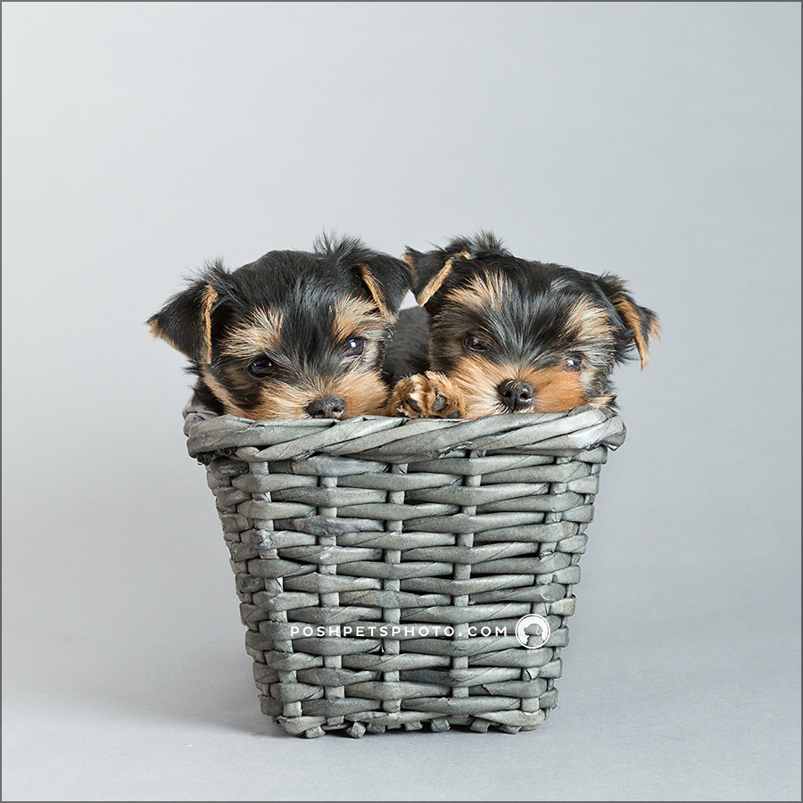 yorkshire terrier puppies in Toronto, Canada
