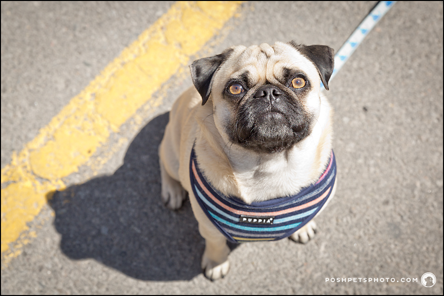 pug in striped harness toronto