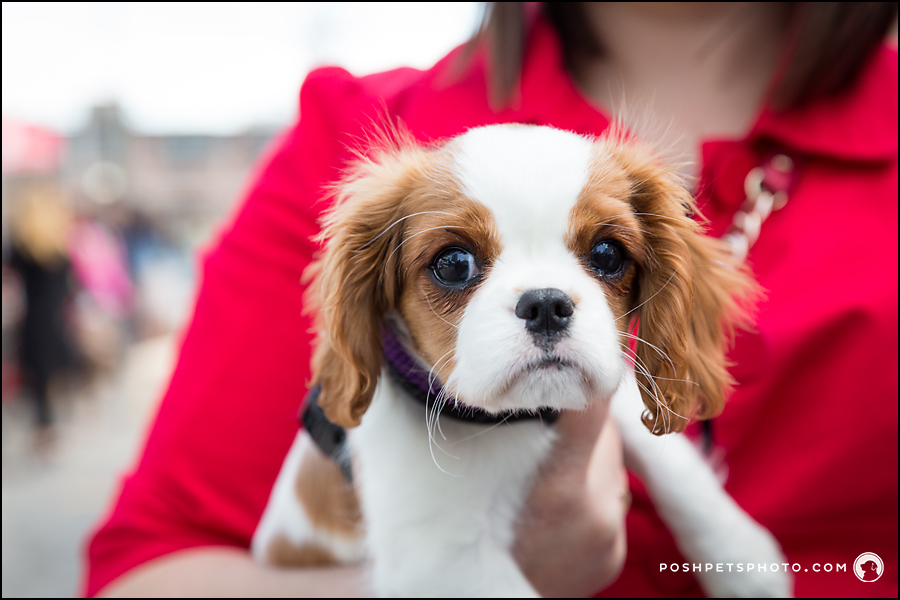 tiny king charles cavalier puppy