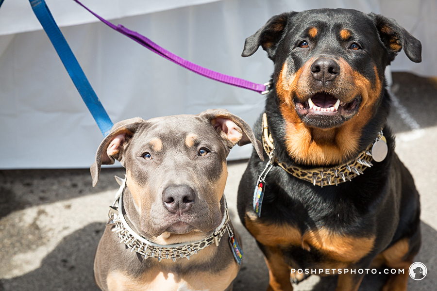 Rottweiler and Pittie in Toronto, Canada
