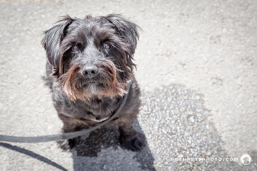 scruffy dog photographer in toronto