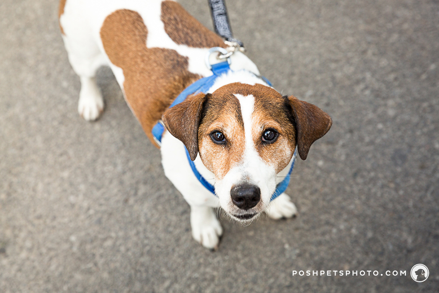 beagle dog portraits