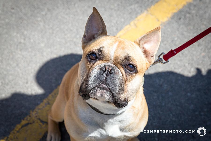 frenchie dog headshot