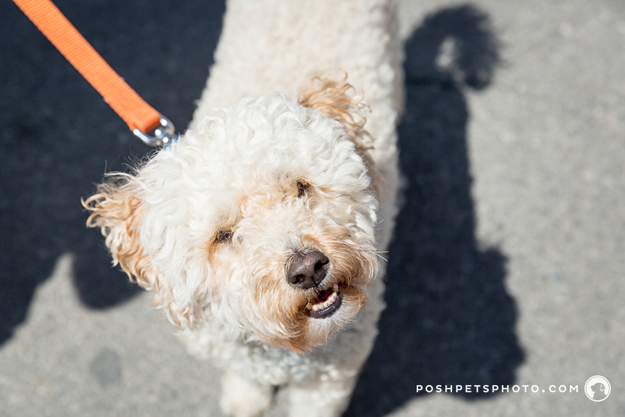 Pampered Pooches – Part 3 | Toronto Dog Event Photography