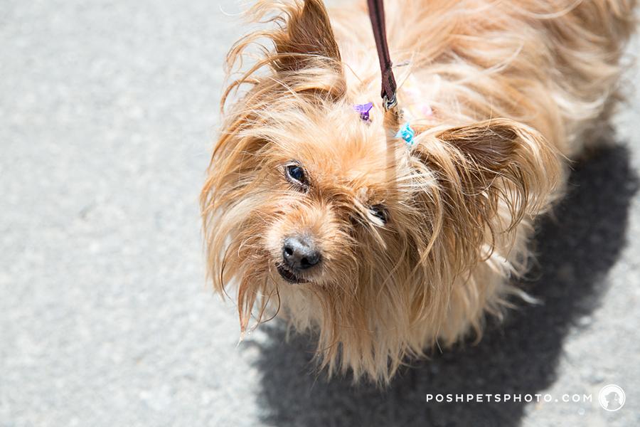 yorkie dog photographer in toronto