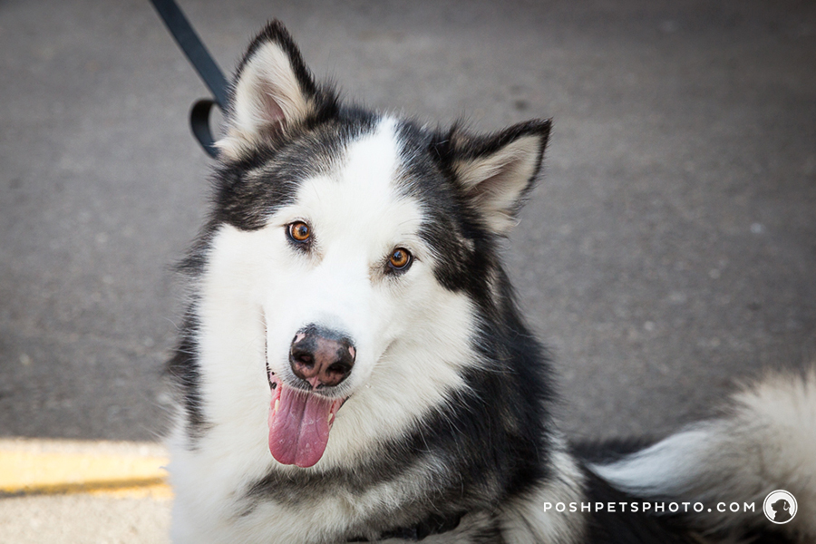 malamute dog photography in ontario