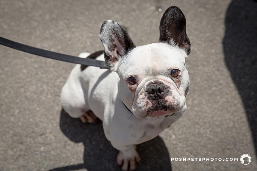 frenchie puppy portraits
