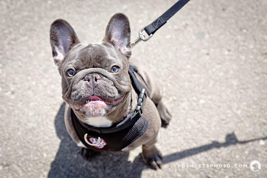 posh pets photography dog event