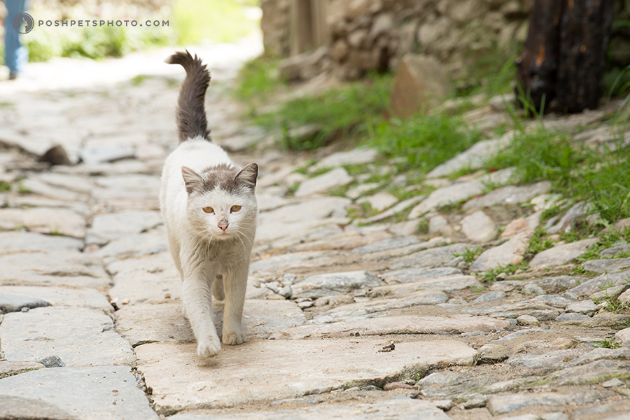 cat walking on cobblestone road