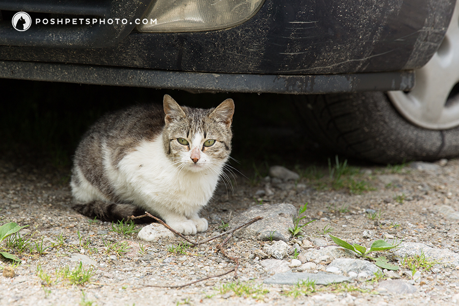 cat peeking out from under a car