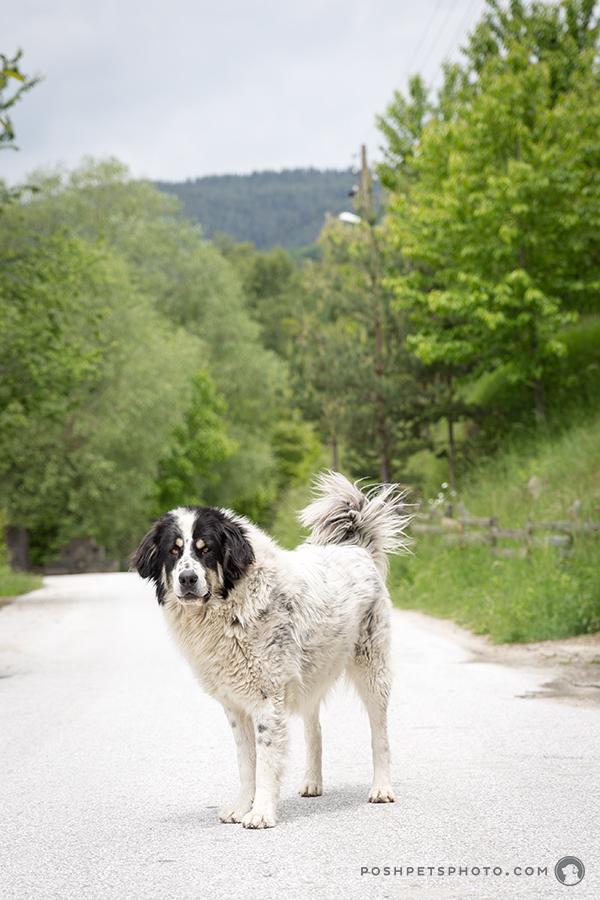 beautiful black and white lab dog