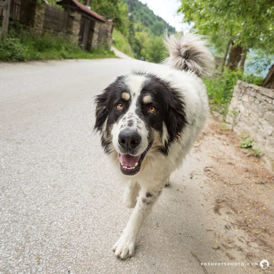 wide angle shot of black and white dog