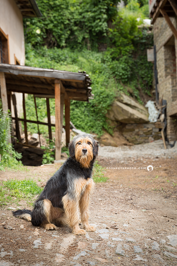 wolfhound in rustic village, bulgaria