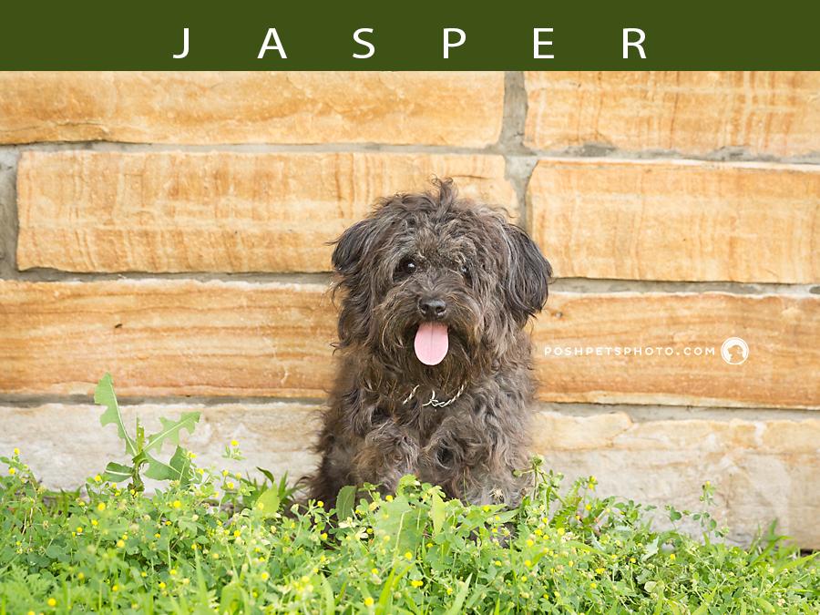 canada dog photography poodle