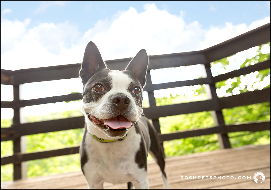 happy boston terrier