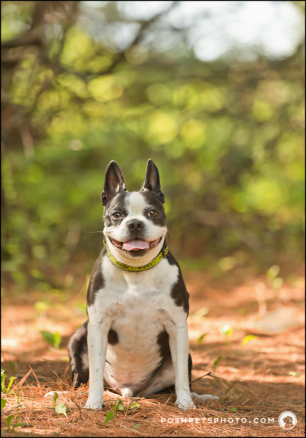 boston terrier in bronte provincial park