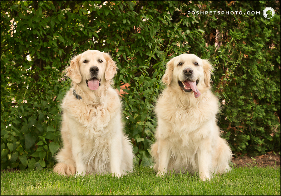 two dogs smiling in front of green hedge