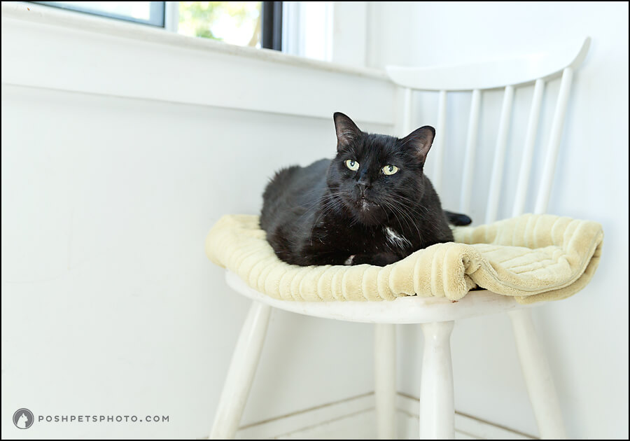 Bart – Posh Pets Heritage™ Session | Cat Photographer in Toronto
