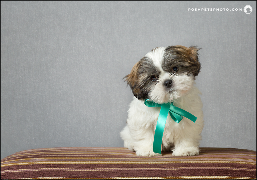 shih tzu puppy studio photography