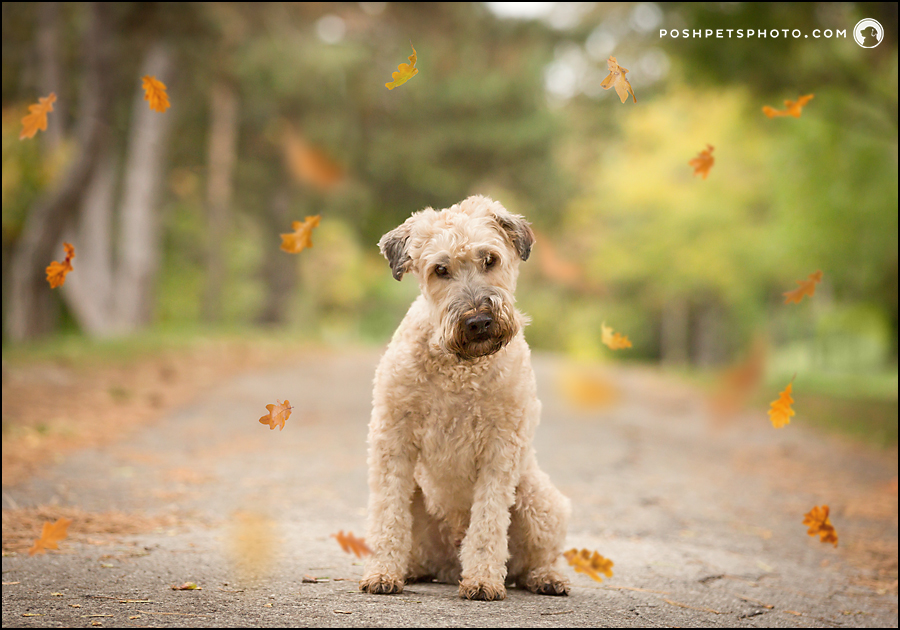 Gus – Boutique Session | Toronto Dog Photographer