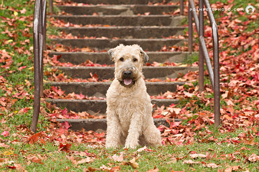 wheaten terrier in Toronto